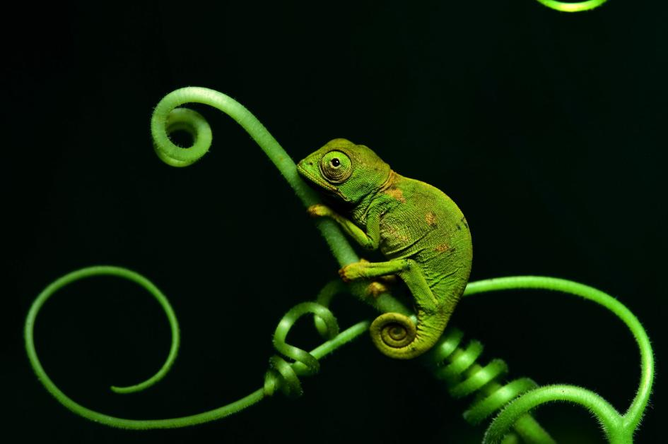 26. Chameleon. Democratic Republic of the Congo