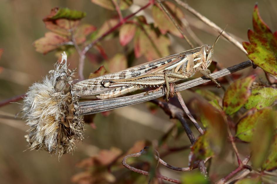 23. Grasshopper