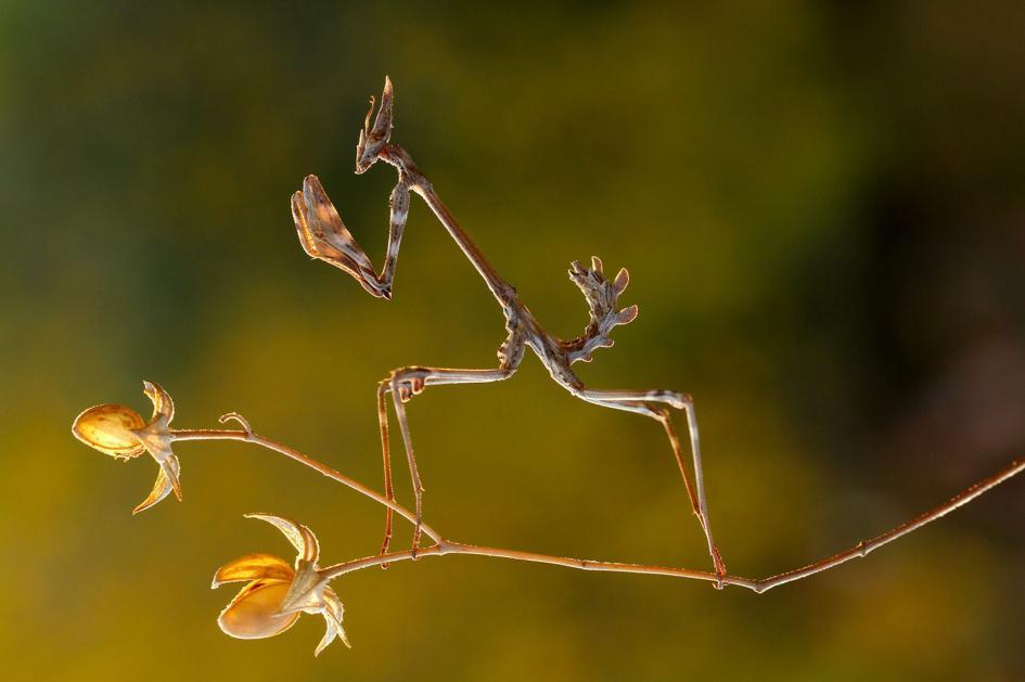 3. Conehead mantis. Kahramanmaras, Turkey