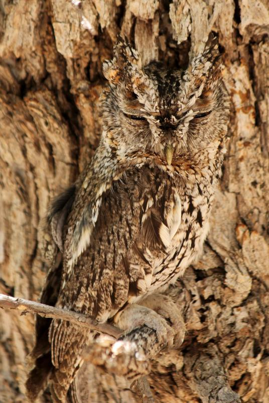 37. Whiskered screech owl. Cave Creek Canyon, Arizona, United States