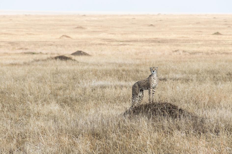 28. Cheetah. Ngorongoro, Arusha, Tanzania