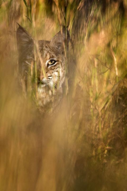 25. Bobcat. Laredo, Texas, United States