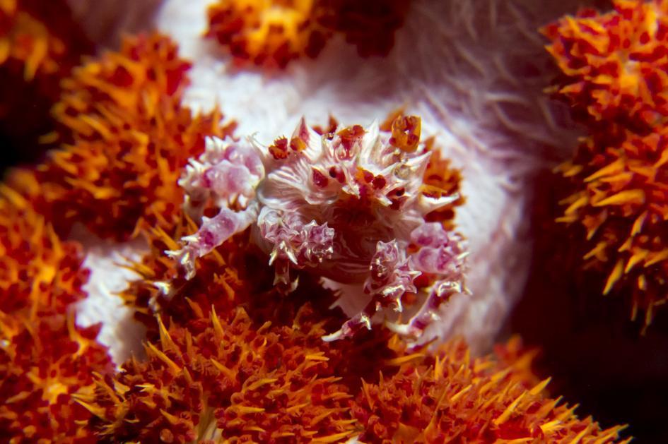 5. Soft coral crab. Cabilao, Western Visayas, Philippines