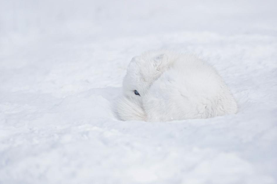 10. Arctic fox. Baie-D'Urfé, Quebec, Canada