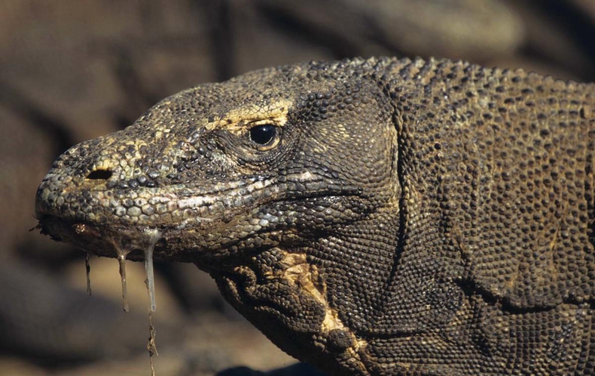 1. Komodo Dragon