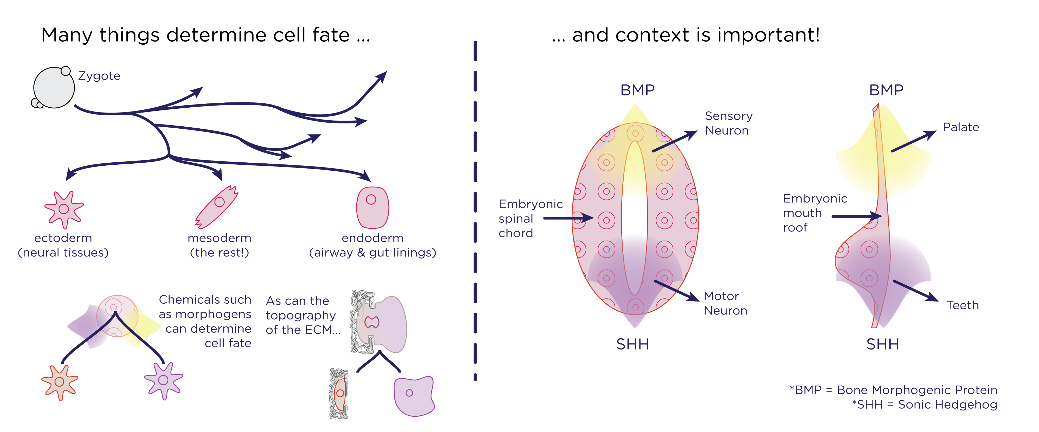 (A): Cell lineages can be determined chemically or structurally. (B): Both the neural tube, and the upper palate [^3] are patterned with the peptide morphogens BMP and SHH.