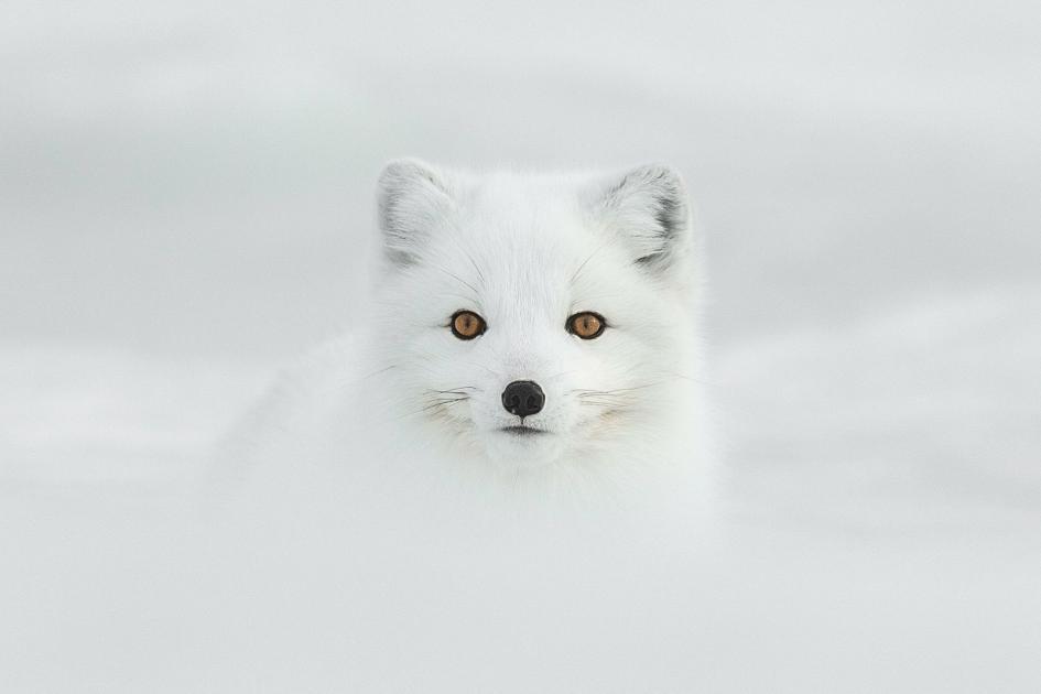 31. Arctic fox