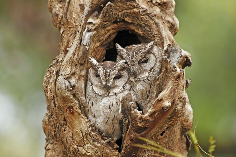 32. Collared Scops Owls