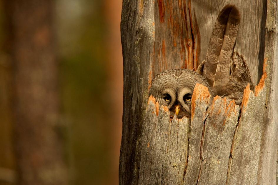 24. Great gray owl. Ruhtinaansalmi, Oulu, Finland